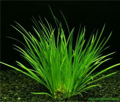 acorus gramineus (Acoro enano).
