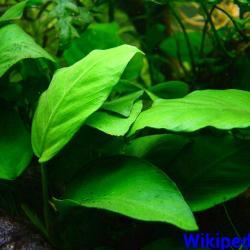 anubia barteri var caladiifolia