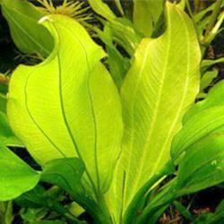 echinodorus cordifolius sp fluviatilis