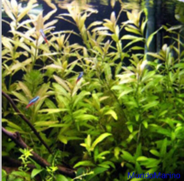 hygrophila polysperma ceylon o ceylan