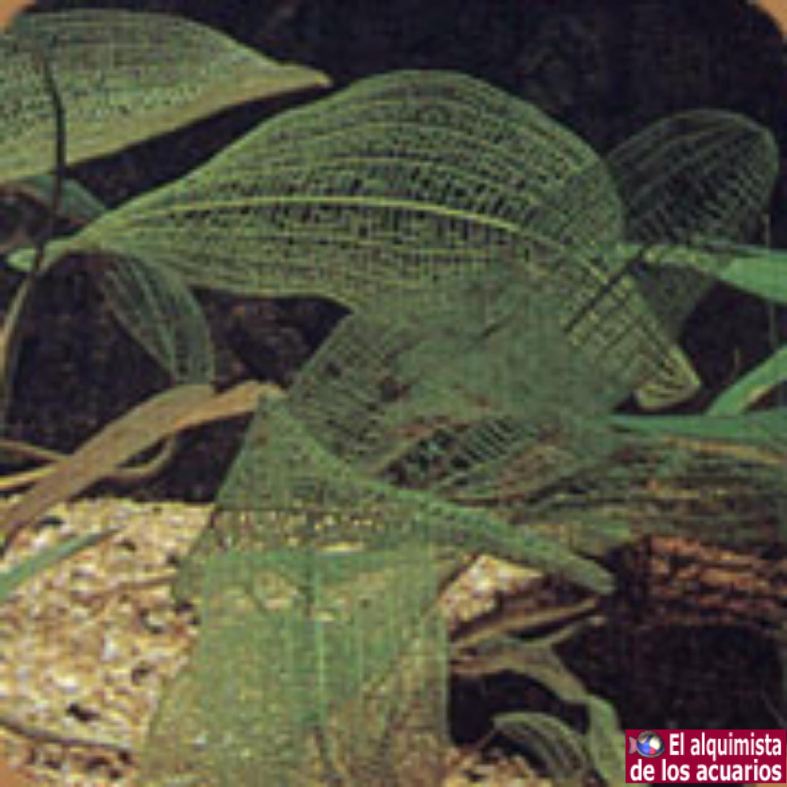 synnema trifolium (Glicine de agua)
