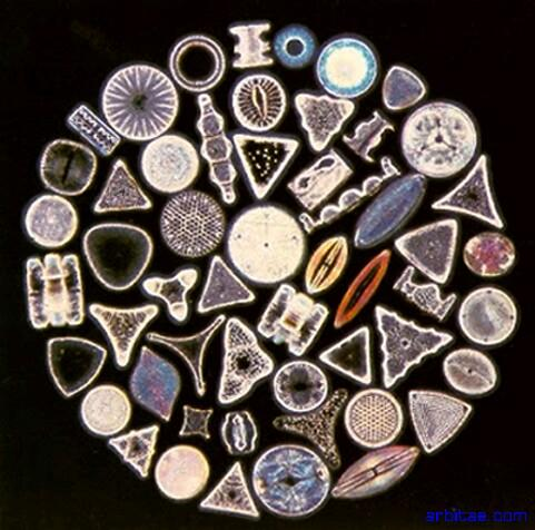 Diatomeas