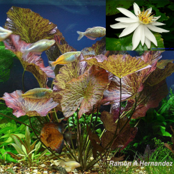 nymphaea lotus zenkeri