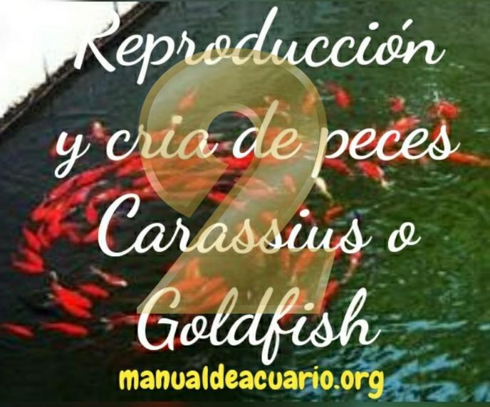 Reproducción de Carassius o Goldfish 2