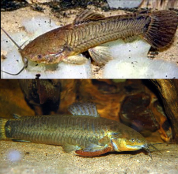 Callichthys Callichthys Cascarudo