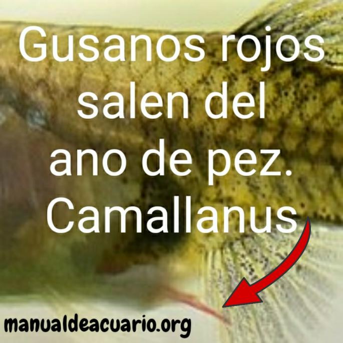 Gusanos rojos salen del ano de pez, Camallanus
