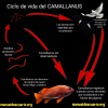 Gusanos rojos salen del ano de pez o Camallanus