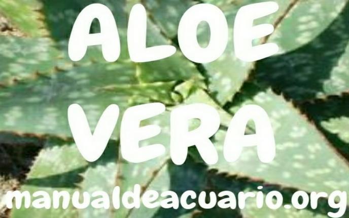 Aloe vera para acuarios