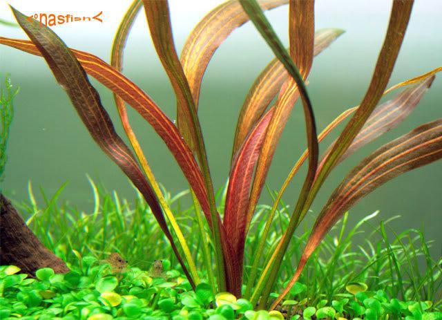 echinodorus rubin narrow leaves