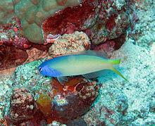 220px bluehead tilefish