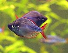 220px diamant regenbogenfisch melanotaenia praecox