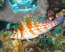 220px dwarfhawkfish