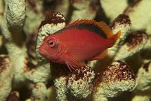 220px flame hawkfish neocirrhites armatus