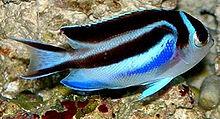 220px genicanthus bellus