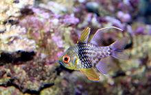 220px pajama cardinal fish sphaeramia nematoptera