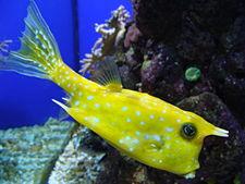 225px lactoria cornuta 002 aquarium finisterrae