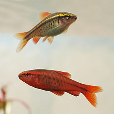 230px cherry barb female and male