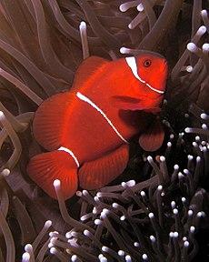 230px premnas biaculeatus maroon or spinecheek anemonefish