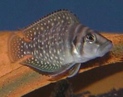 240px altolamprologus calvus