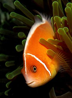 240px amphiprion perideraion