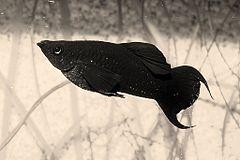 240px black molly1