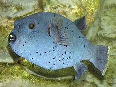240px black spotted puffer arp