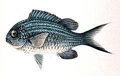 240px chromis caerulea