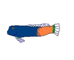 240px ecsenius bicolor