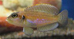 240px lamprologus ocellatus