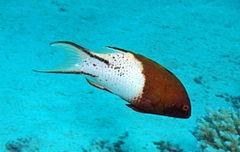 240px lyretail hogfish