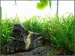 240px nano aquarium mit boraras brigittae