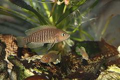 240px neolamprologus multifasciatus male