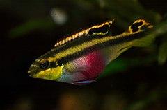 240px pelvicachromis pulcher female 02