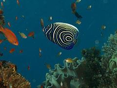 240px pomacanthus imperator emperor angelfish juvenile timor