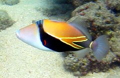 240px reef triggerfish 1