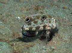 240px signigobius biocellatus