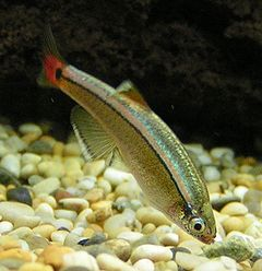 240px white cloud mountain minnow 2
