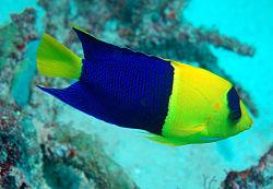 250px 1 centropyge bicolor bicolor angelfish