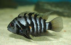 250px archocentrus nigrofasciatus female