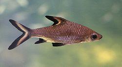 250px balantiocheilos melanopterus