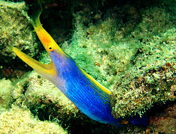 250px blue ribbon eel fish on pom pom island celebes resort sabah