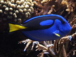 250px blue tang paracanthurus hepatus 02