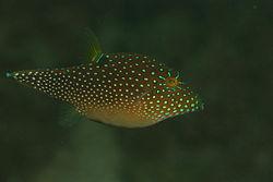 250px canthigaster solandri