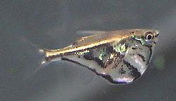 250px carnegiella strigata