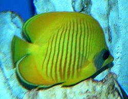 250px chaetodon semilarvatus 1