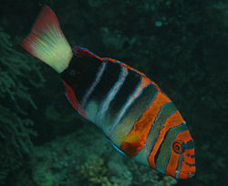 250px choerodon fasciatus