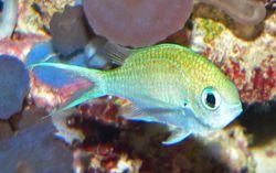 250px chromis viridis 1