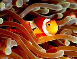 250px clownfish amphiprion ocellaris