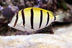 250px convict surgeonfish acanthurus triostegus 1