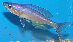 250px cyprichromis leptosoma